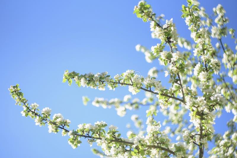 Les fleurs de la pomme fleurit une journée de printemps images stock