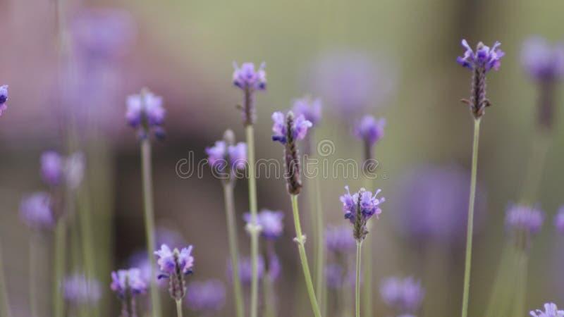 Les fleurs de lavande aménagent la fin en parc vers le haut du fond naturel de foyer mou abstrait photographie stock
