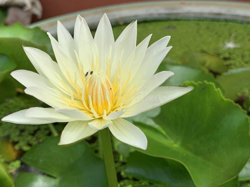 Les fleurs de Lotus fleurissent très beau et x28 ; une image ou un macro& en gros plan x29 ; photo stock