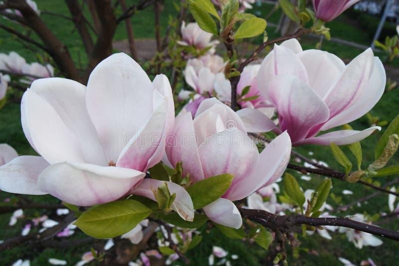 Les fleurs de magnolia jaillissent fleurissant à Prague image stock