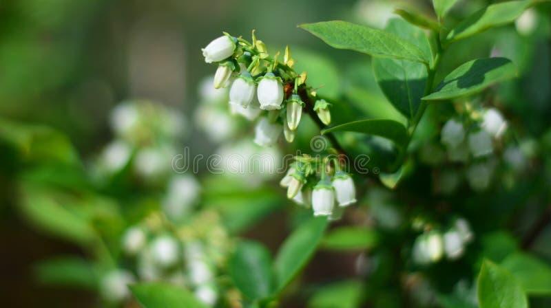 Les fleurs de myrtille commencent à fleurir au printemps image stock
