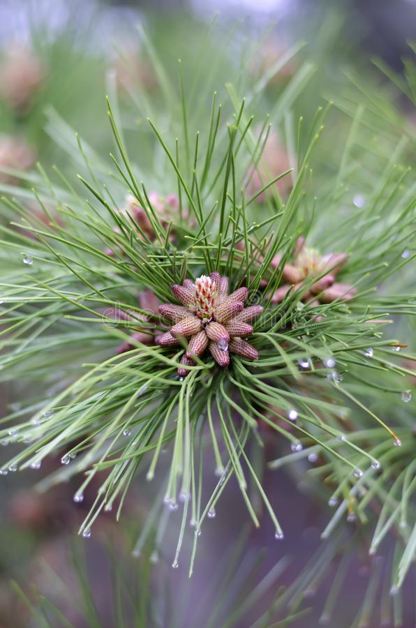 Les fleurs de pin se ferment  Ressort fleurissant dans le pollen de pin de forêt photo stock