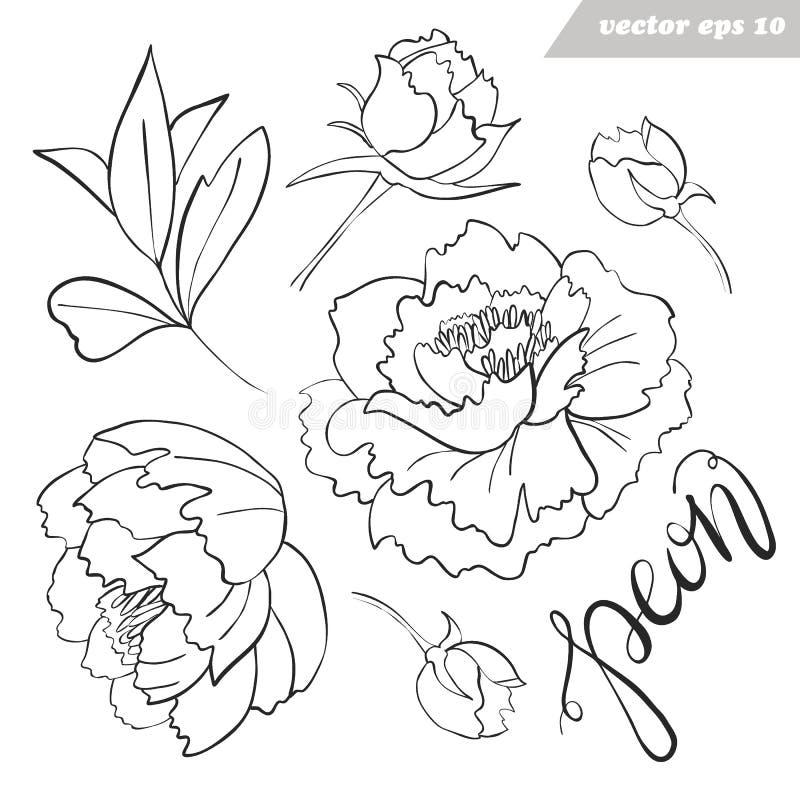 Les fleurs de pivoine, bourgeons, feuilles dirigent l'ensemble décrit illustration de vecteur