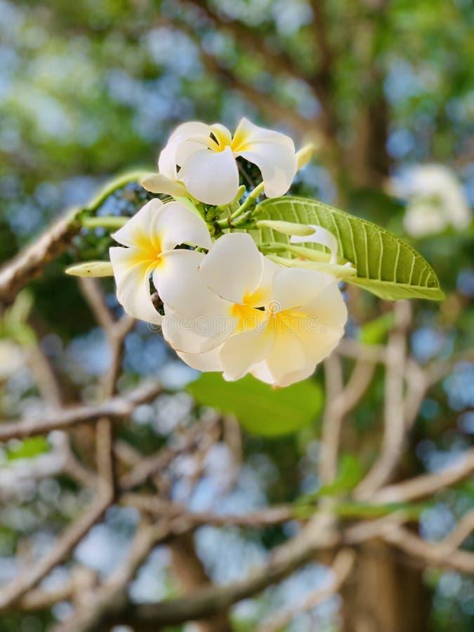 Les fleurs de Plumeria fleurissent très beau images stock