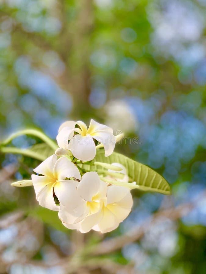 Les fleurs de Plumeria fleurissent très beau images libres de droits
