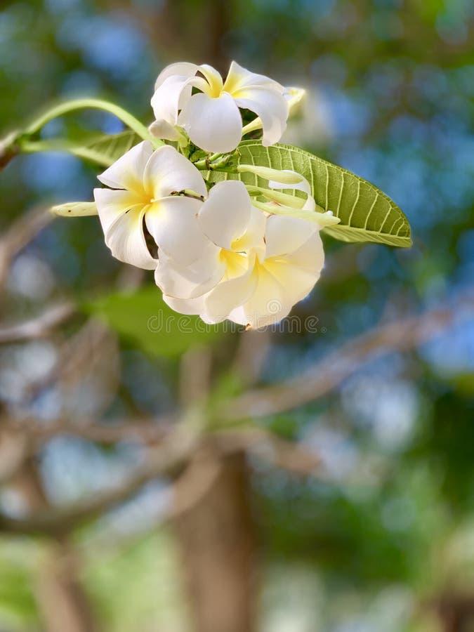 Les fleurs de Plumeria fleurissent très beau photos stock