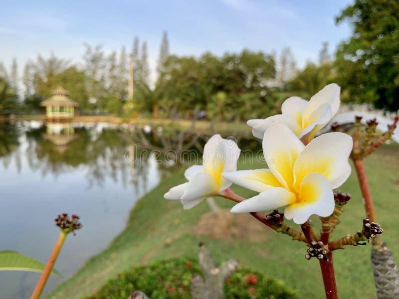 Les fleurs de Plumeria reçoivent la lumière pendant le matin photo stock
