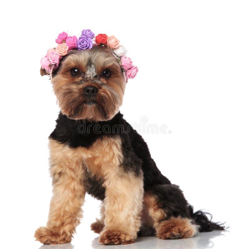 Les fleurs de port posées adorables de terrier de Yorkshire couronnent photo stock