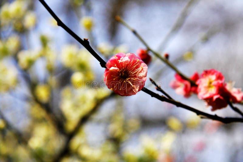 Les fleurs de prune en hiver images stock