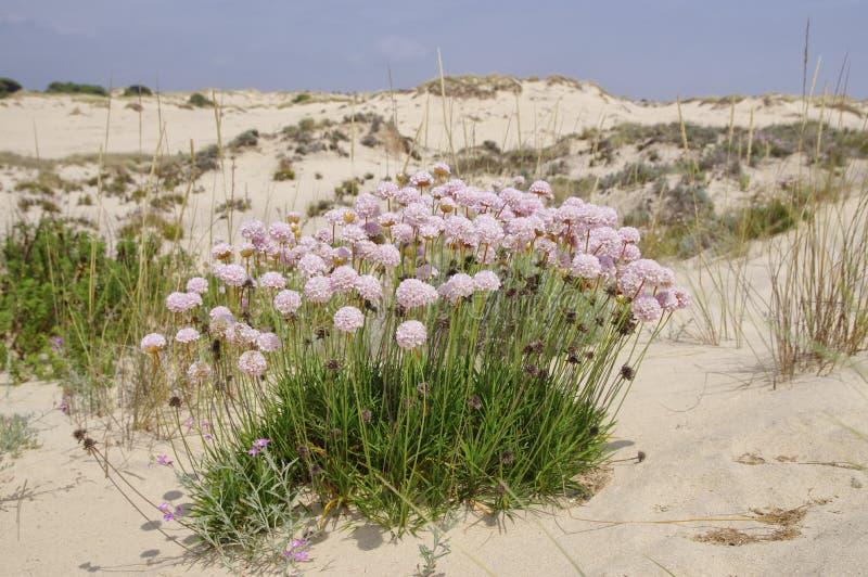 Les fleurs de ressort parmi le paysage arénacé de Coto de Donana National Park image stock
