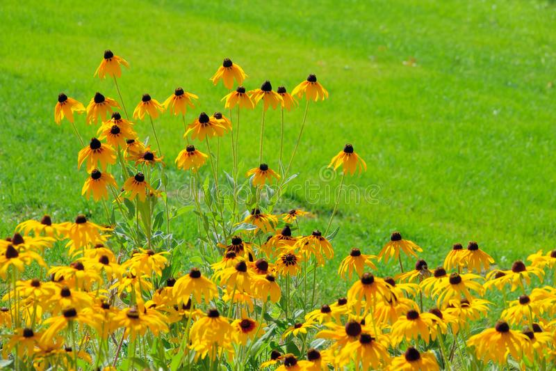 Les fleurs de Rudbeckia hirta photos libres de droits