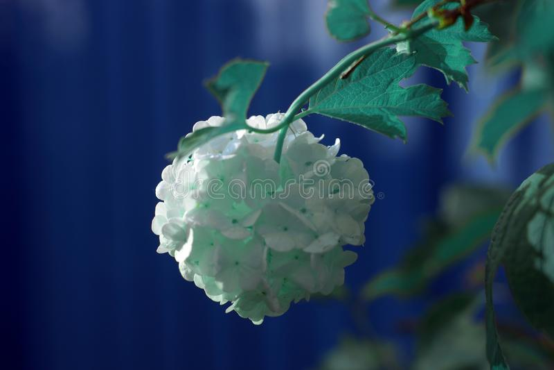 Les fleurs du viburnum blanc, comme des boules, dans la perspective de la barrière, tonalité bleue photos stock
