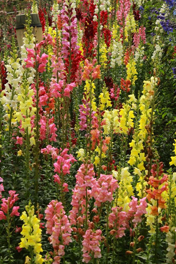 Les fleurs et les bourgeons décoratifs colorés de jardin dans le Bryant se garent, kodaikanal photo libre de droits
