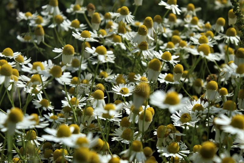 Les fleurs et les herbes de camomille fleurissent admirablement photos libres de droits