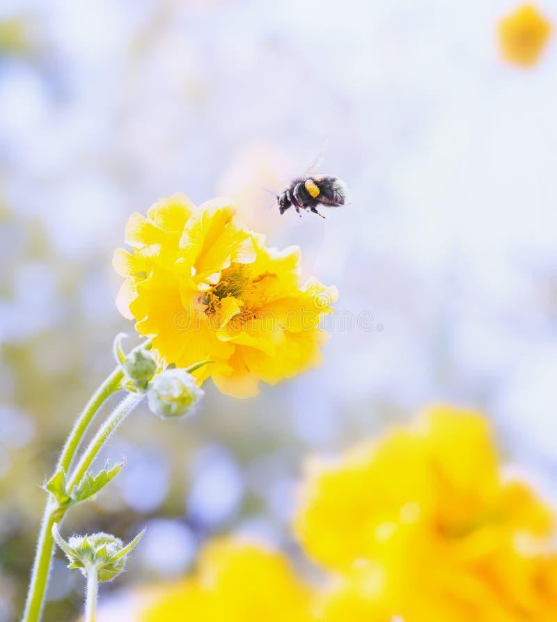 Les fleurs et le bourdon de Geum, se ferment  image stock