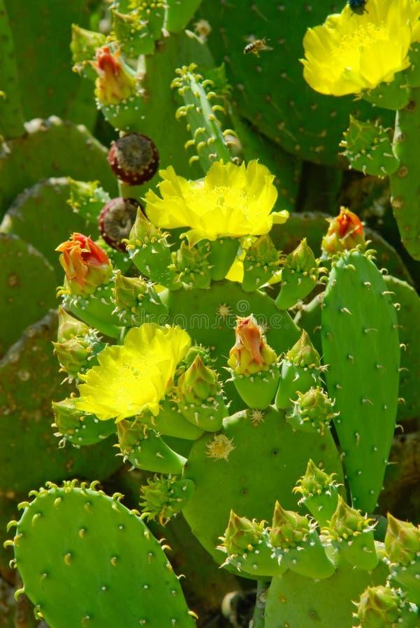 Les fleurs et les bourgeons verts sur le cactus vert part photo stock