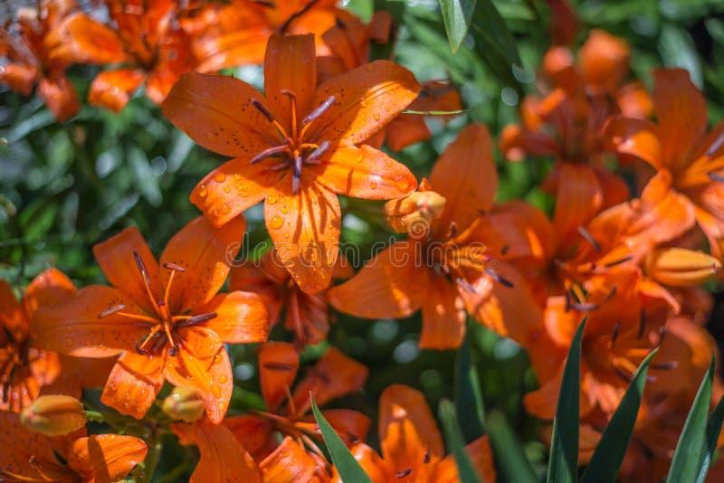 les fleurs irisent le rouge photographie stock