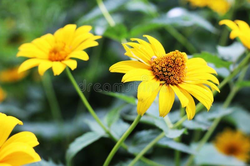 Les fleurs jaunes dans le jardin ont brillé au soleil photo stock