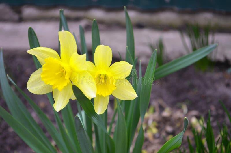 Les fleurs jaunes de jonquilles jaillissent photographie stock libre de droits