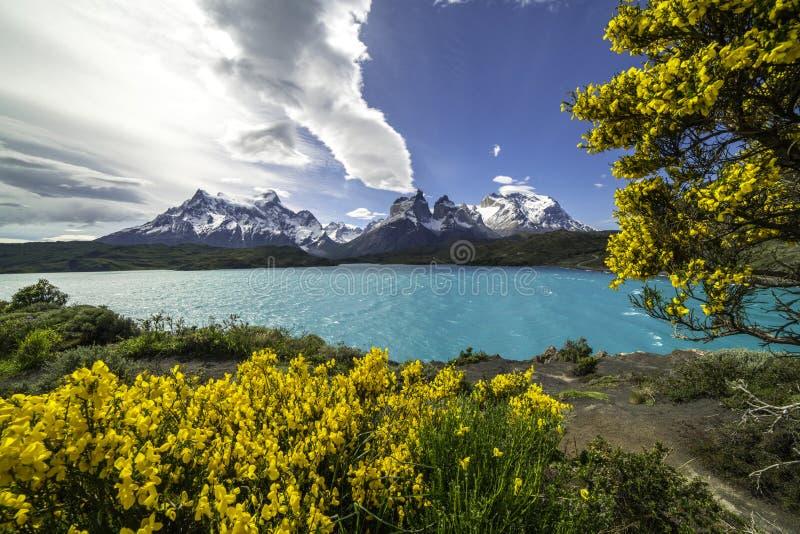 Les fleurs jaunes fleurissent dans le Patagonia en Torres Del Paine Chile photos stock
