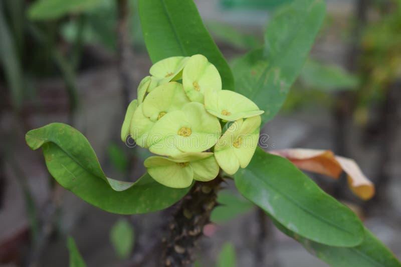 Les fleurs jaunes verdâtres exotiques ont fleuri à une usine épineuse photographie stock