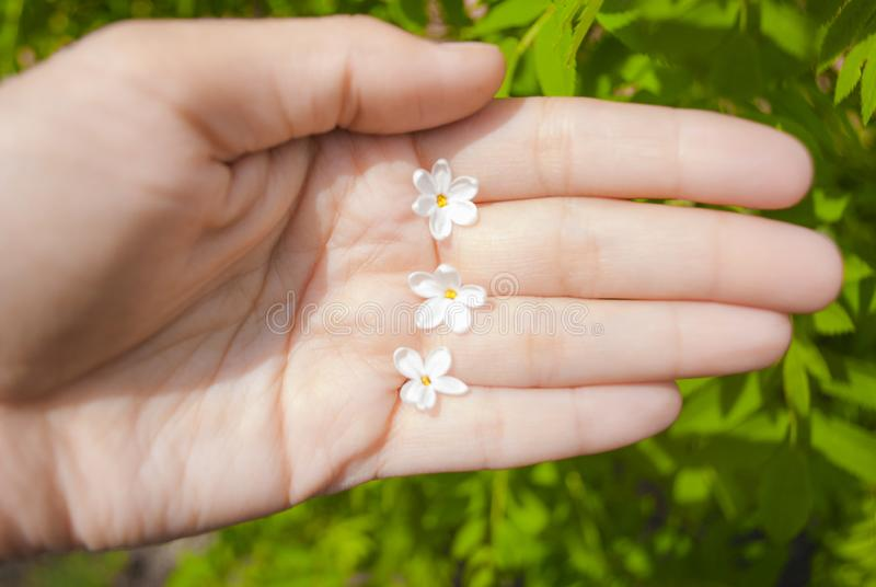 Les fleurs lilas avec cinq pétales est un symbole de la bonne chance images libres de droits