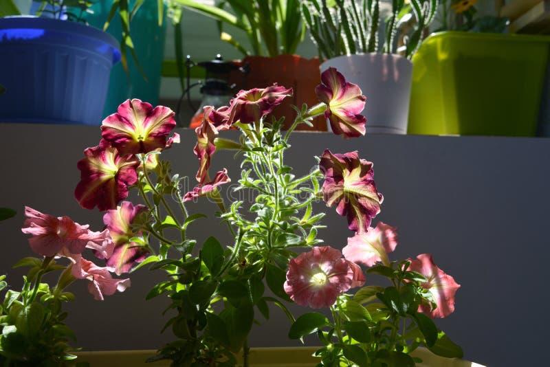 Les fleurs multicolores de pétunia s'allument par le soleil Petit jardin de floraison décoratif sur le balcon photographie stock