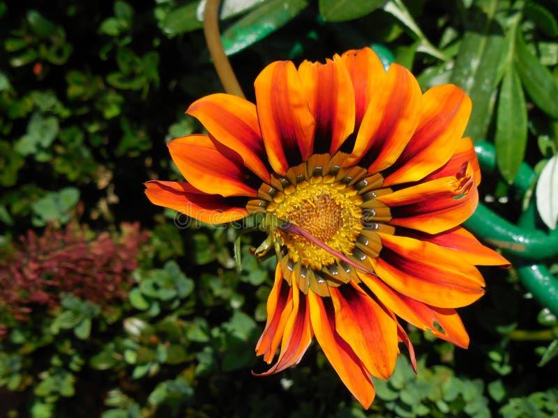 Les fleurs naturelles mignonnes de hd orange de jardin de fond verdissent beau attrayant moulu arrière image stock