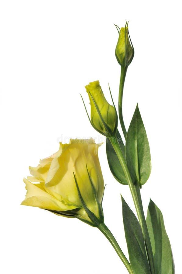 les fleurs ont isolé le blanc de lisianthus image stock