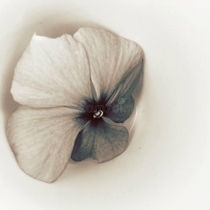 Les fleurs ont tiré dans un type d'beaux-arts dans un studio images libres de droits