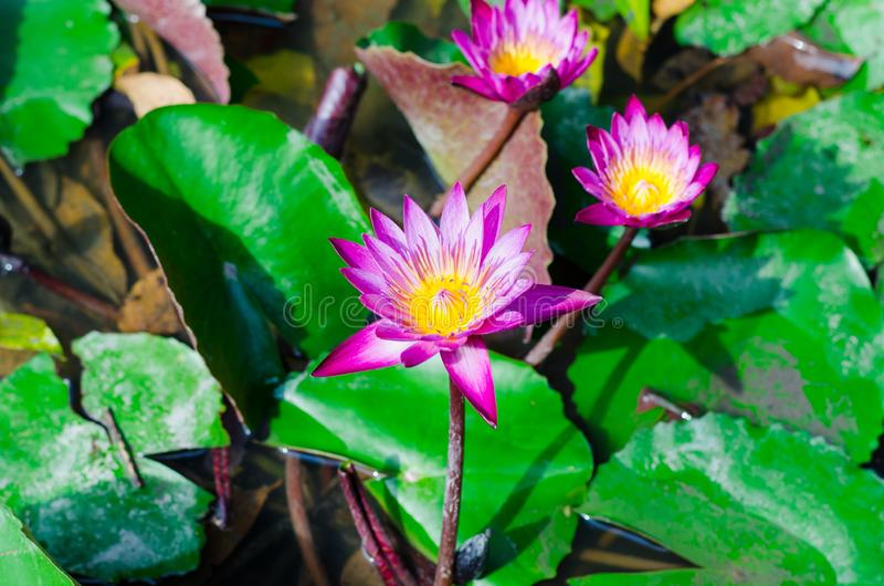 Les fleurs ou le n?nuphar roses de lotus fleurit la floraison sur l'?tang, lotus rose, fleur rose image libre de droits
