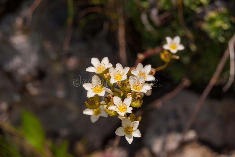 Les fleurs paniculate de saxifrage se développent sur un pré alpin photos stock