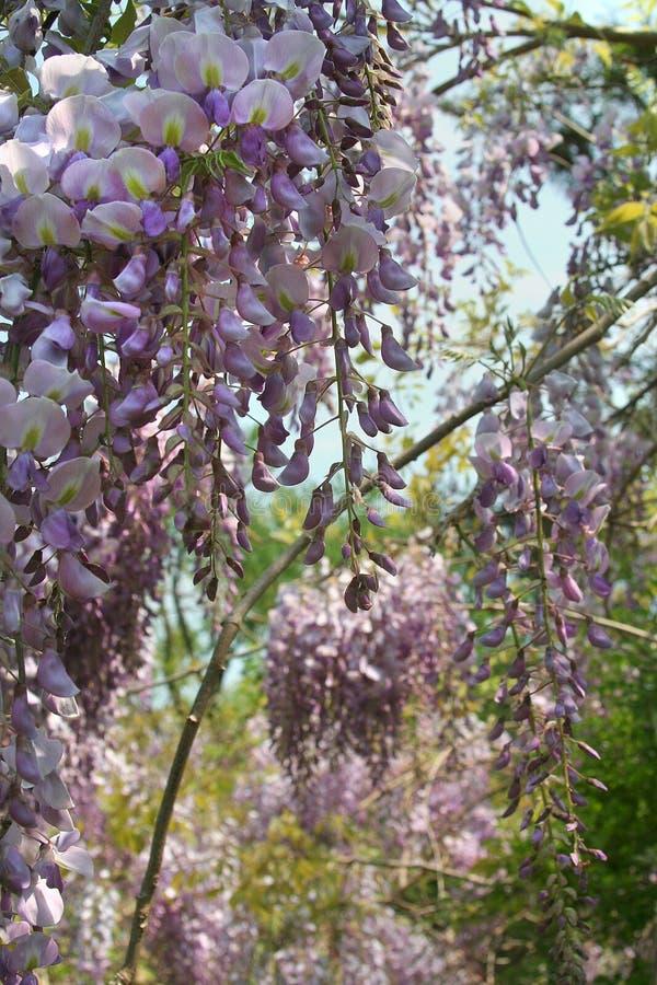 Les fleurs parfumées de glycine s'ouvrent au soleil de tard-ressort photographie stock