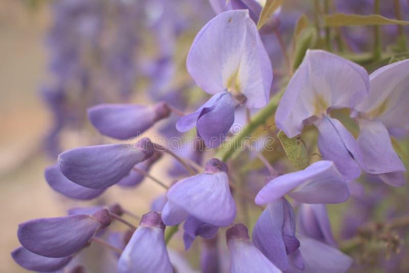 Les fleurs pourpres de glycine se ferment  photo stock