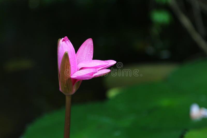 Les fleurs pourpres s'ouvrent dans la rosée photographie stock libre de droits