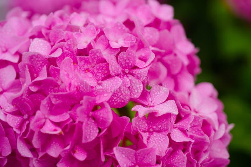 Les fleurs renversantes d'hortensia Fleurs de floraison dans le jardin d'été Hortensia rose en pleine floraison Fleurs voyantes d photos stock
