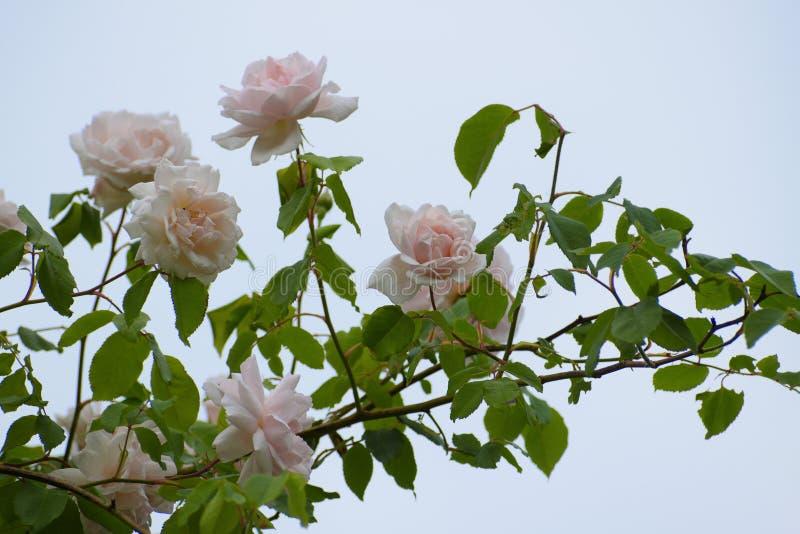 Les fleurs rose-clair de se promener ou de s'élever se sont levées photographie stock libre de droits