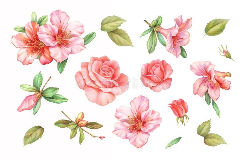 Les fleurs roses blanches roses de lis d'azalée de cru ont placé d'isolement sur le fond blanc Illustration de crayon colorée par photo stock