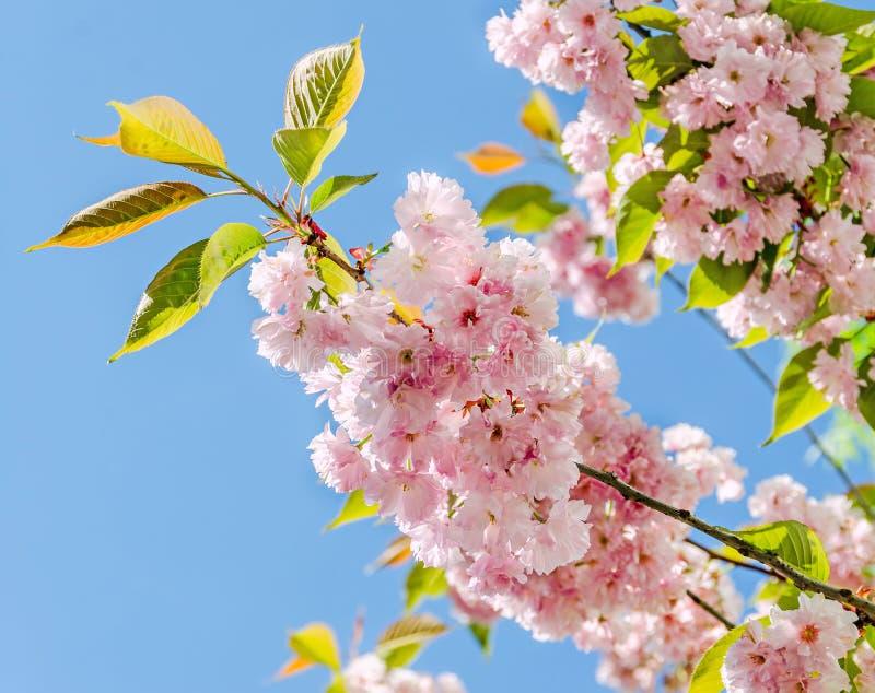 les fleurs roses d 39 arbre du serrulata kanzan branche de prunus fleurit cerise japonaise fond. Black Bedroom Furniture Sets. Home Design Ideas