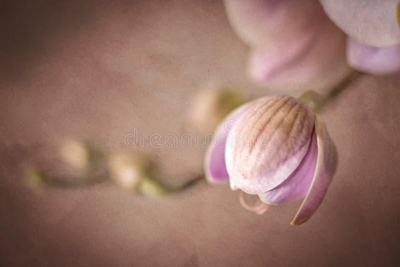 Les fleurs roses d'orchidée ont assourdi l'affect grunge photo libre de droits