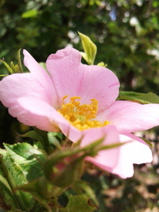 Les fleurs roses de sauvage se sont lev?es Verdissez les lames au soleil image stock