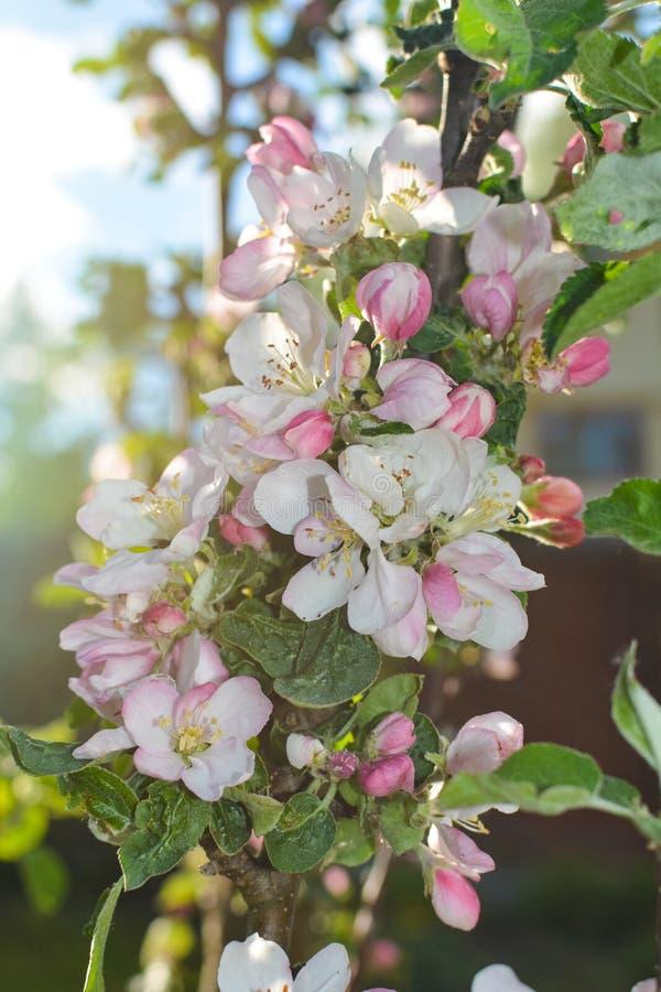 Les fleurs roses du pommier se sont ouvertes sous le soleil image stock