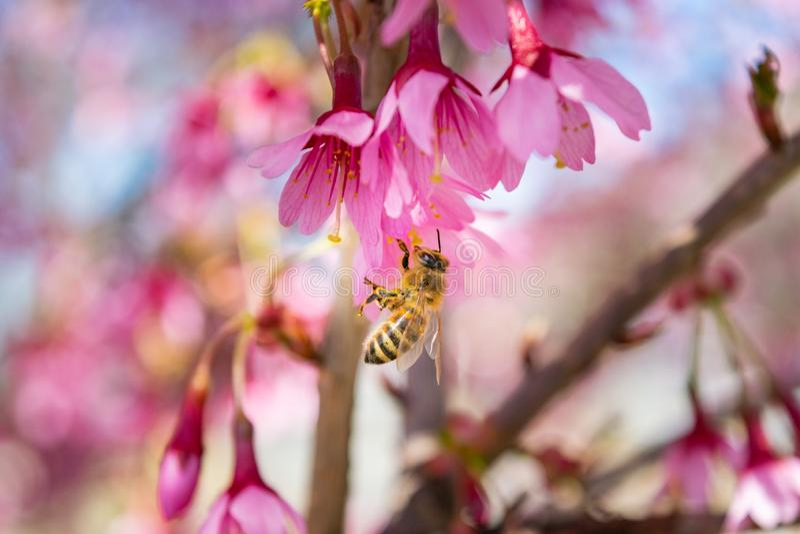 Les fleurs roses magnifiques de ressort commencent à fleurir une journée de printemps chaude et ensoleillée photos libres de droits