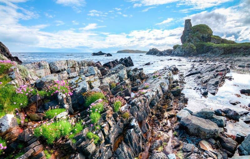 Les fleurs roses se développent parmi les roches côtières en Ecosse photo libre de droits