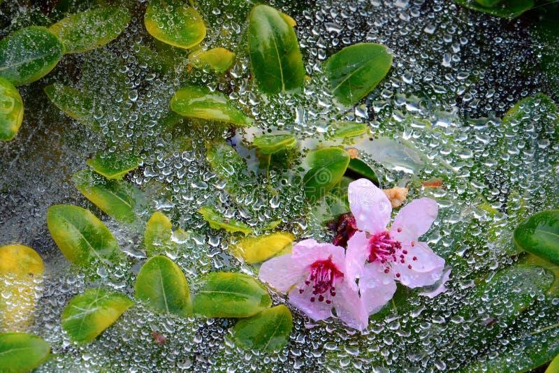 Les fleurs roses se reposant sur le Web et les feuilles vertes couverts dans le matin mouillent. photographie stock