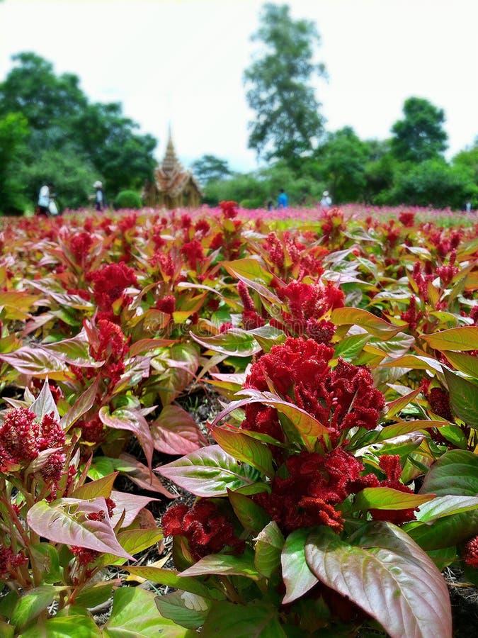 Les fleurs rouges dans le jardin rama9 Thaïlande fleurit beau photographie stock