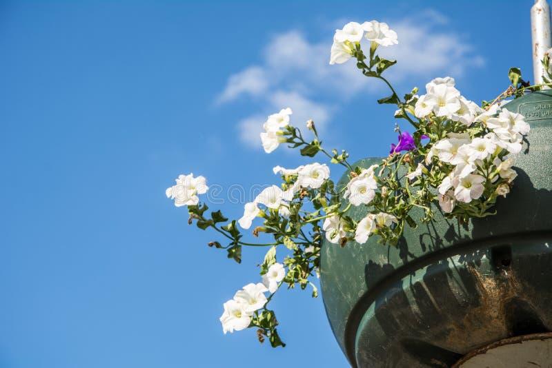 Les fleurs rouges de géranium de jardin, se ferment vers le haut du tir/des fleurs de géranium/fleurs de Lavatera/pétunia d'été d image stock