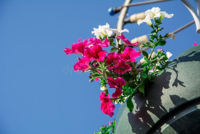 Les fleurs rouges de géranium de jardin, se ferment vers le haut du tir/des fleurs de géranium/fleurs de Lavatera/pétunia d'été d image libre de droits