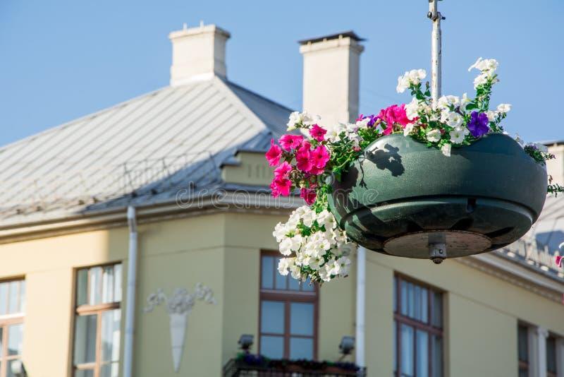 Les fleurs rouges de géranium de jardin, se ferment vers le haut du tir/des fleurs de géranium/fleurs de Lavatera/pétunia d'été d images libres de droits