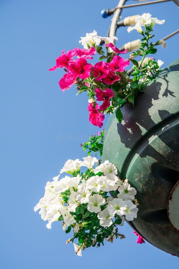 Les fleurs rouges de géranium de jardin, se ferment vers le haut du tir/des fleurs de géranium/fleurs de Lavatera/pétunia d'été d photographie stock